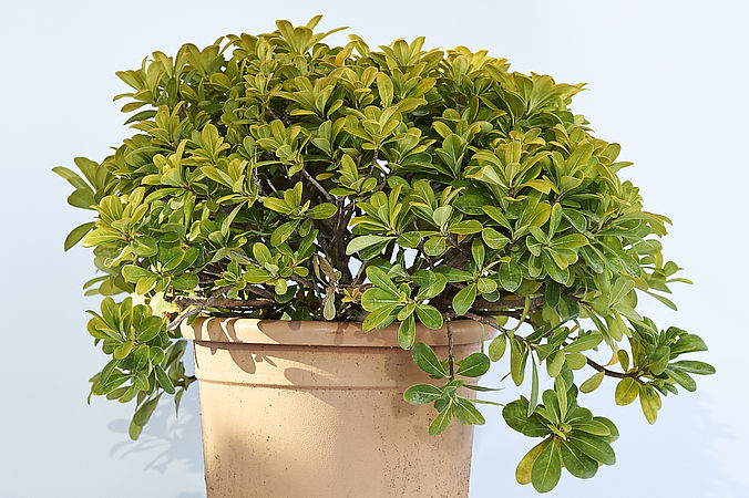 Pittosporum nain