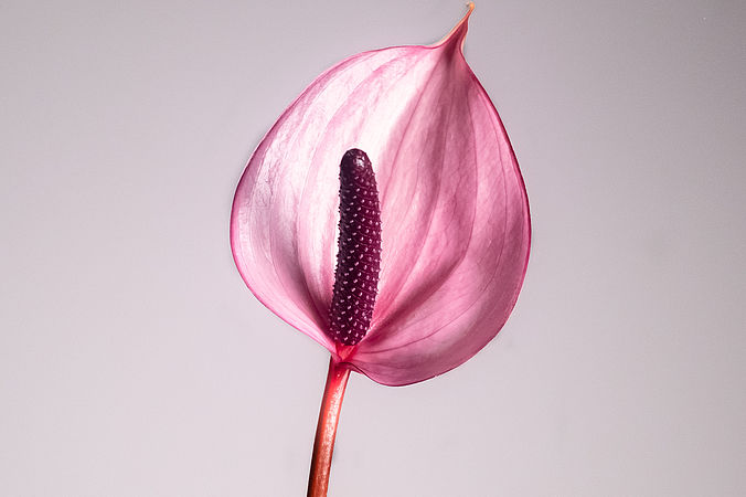 Anthurium violet (mini)