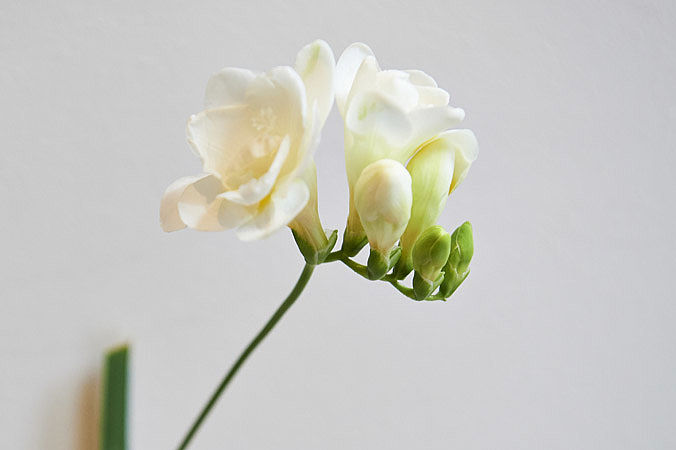 Freesia blanc double
