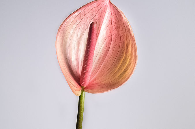Anthurium rose (mini)